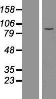 NBL1-12969 - MDM1 Lysate