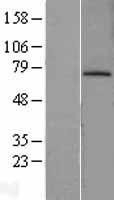 NBL1-12970 - MDM2 Lysate