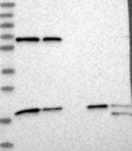 NBP1-83431 - MDP1