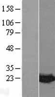 NBL1-12972 - MDP1 Lysate