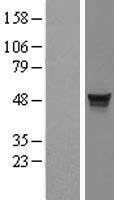 NBL1-12059 - MDS028 Lysate