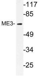 NBP1-30525 - ME3