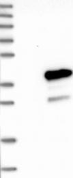 NBP1-81245 - MEA-1