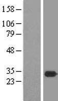 NBL1-12976 - MEA1 Lysate
