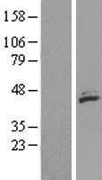 NBL1-12978 - MECR Lysate
