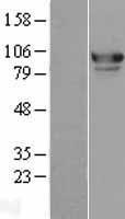NBL1-12981 - MED15 Lysate