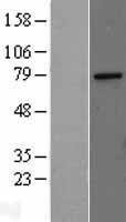 NBL1-12982 - MED17 Lysate