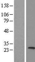 NBL1-12985 - MED20 Lysate