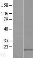 NBL1-12986 - MED21 Lysate