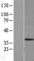NBL1-12989 - MED27 Lysate