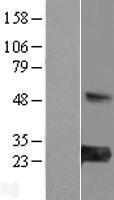 NBL1-12991 - MED30 Lysate