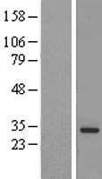 NBL1-12993 - MED6 Lysate