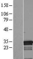 NBL1-12994 - MED7 Lysate