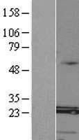 NBL1-12995 - MED8 Lysate