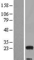 NBL1-12997 - MED9 Lysate