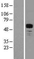 NBL1-12998 - MEF2A Lysate