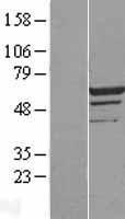 NBL1-13002 - MEIS2 Lysate