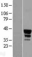NBL1-13004 - MEIS2 Lysate