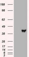 NBP1-47836 - MAPKK 2