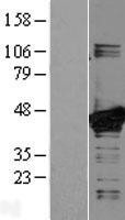 NBL1-12848 - MEK3 Lysate