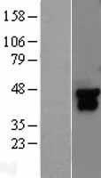 NBL1-12850 - MEK4 Lysate