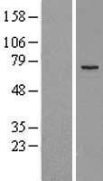 NBL1-12854 - MEKK2 Lysate