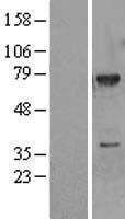 NBL1-12855 - MEKK3 Lysate