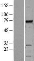NBL1-13007 - MELK Lysate