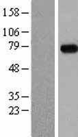 NBL1-13012 - MEPCE Lysate