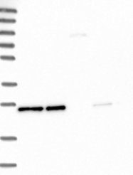 NBP1-88555 - MESDC2