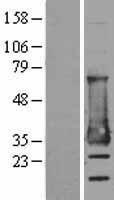 NBL1-13014 - MESDC2 Lysate