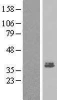 NBL1-13015 - MEST Lysate