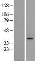 NBL1-13016 - MEST Lysate