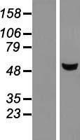 NBL1-13024 - METTL4 Lysate