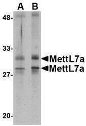 NBP1-77336 - METTL7A