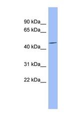 NBP1-56849 - MFAP1