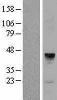 NBL1-13034 - MFAP3 Lysate
