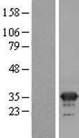 NBL1-13035 - MFAP4 Lysate