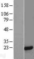 NBL1-13036 - MFAP5 Lysate
