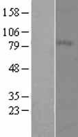 NBL1-13038 - MFI2 Lysate