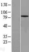 NBL1-13039 - MFN1 Lysate