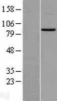 NBL1-13040 - MFN2 Lysate