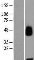 NBL1-13050 - MFSD8 Lysate