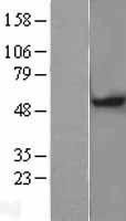 NBL1-13052 - MGAT1 Lysate