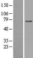 NBL1-13055 - MGAT4B Lysate