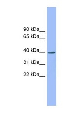 NBP1-55302 - EXOD1