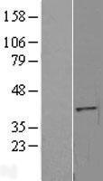NBL1-10382 - MGC16943 Lysate