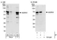 NBP1-49929 - MGRN1 / RNF156