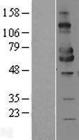 NBL1-13098 - MICA Lysate