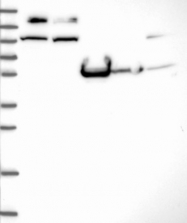 NBP1-81386 - MICAL-like protein 1
